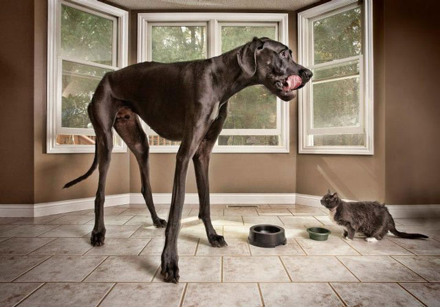 Tallest Dog Ever and World's Smallest Dog