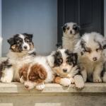 Dog Breeders in Nigeria