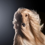 Why I Love the Afghan Hound